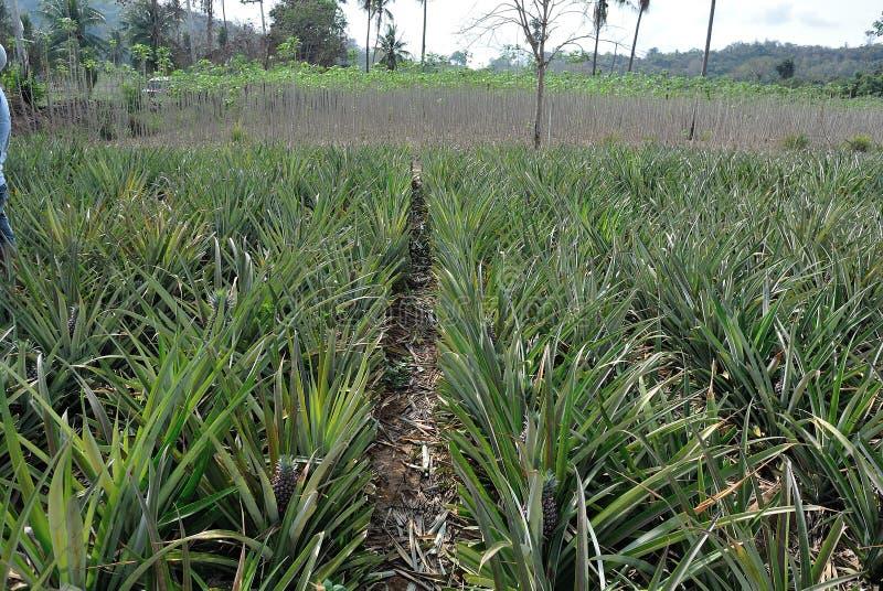 Ananasfält i Thailand arkivbilder