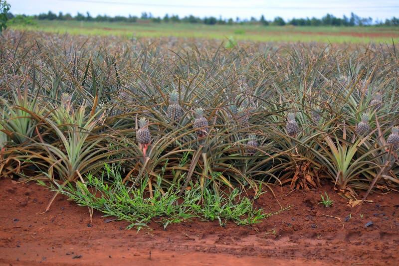Ananasf?lt i hawaii royaltyfria bilder