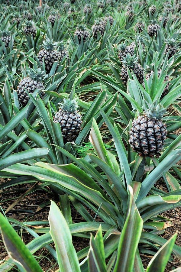 ananaskoloni royaltyfri bild