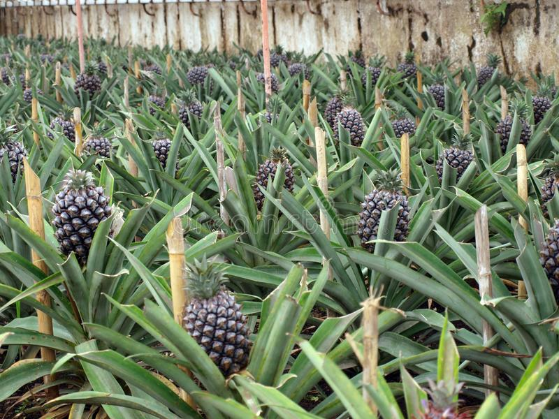 Ananasowa plantacja Ponta Delgada Azores Portugalia fotografia stock