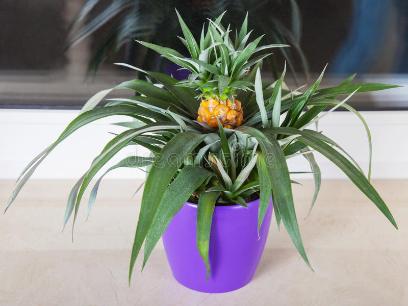 Ananasowa roślina r w garnku obrazy royalty free
