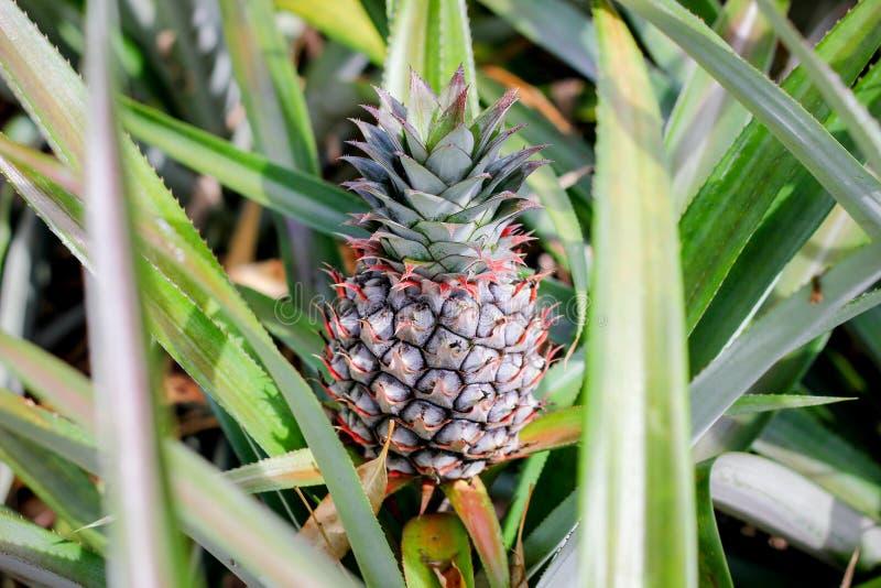 Ananasowa roślina z owoc zdjęcie stock