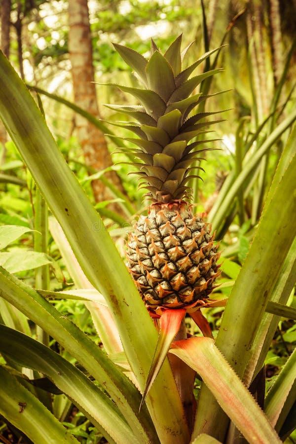 Ananasowej rośliny widok zdjęcia stock