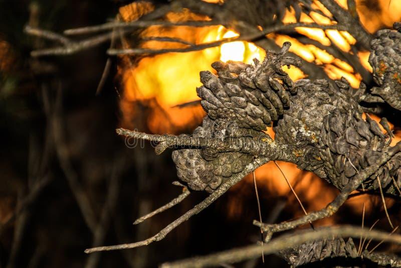 Ananassen van een boom met de zon op de achtergrond Beeld tak stock afbeeldingen