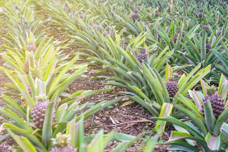 Ananassi in crescita in una serra nell'isola di San Miguel, Ponta Delgada, Portogallo immagine stock
