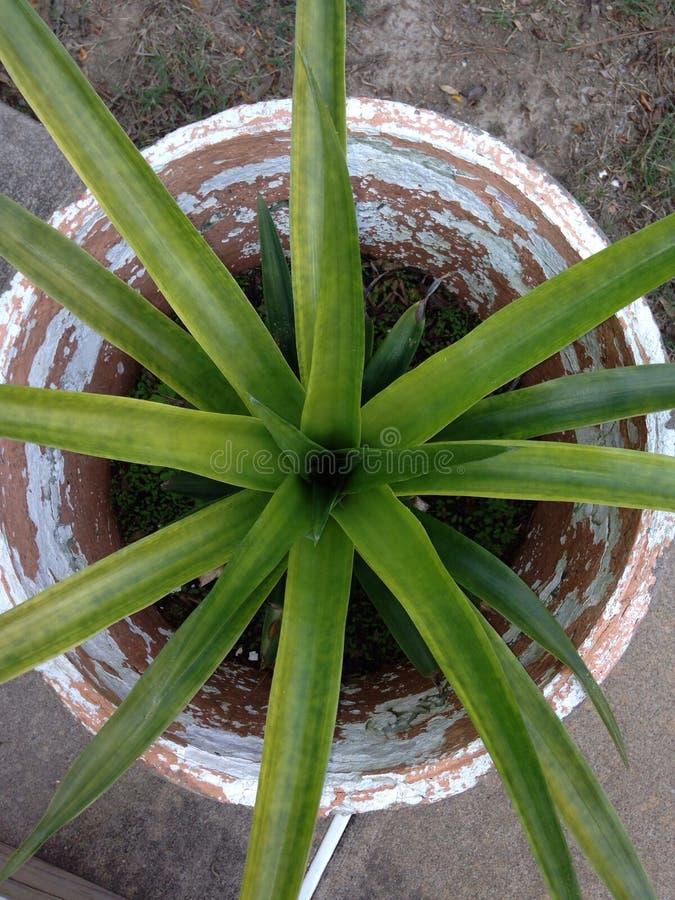 Ananasväxt med frukt fotografering för bildbyråer
