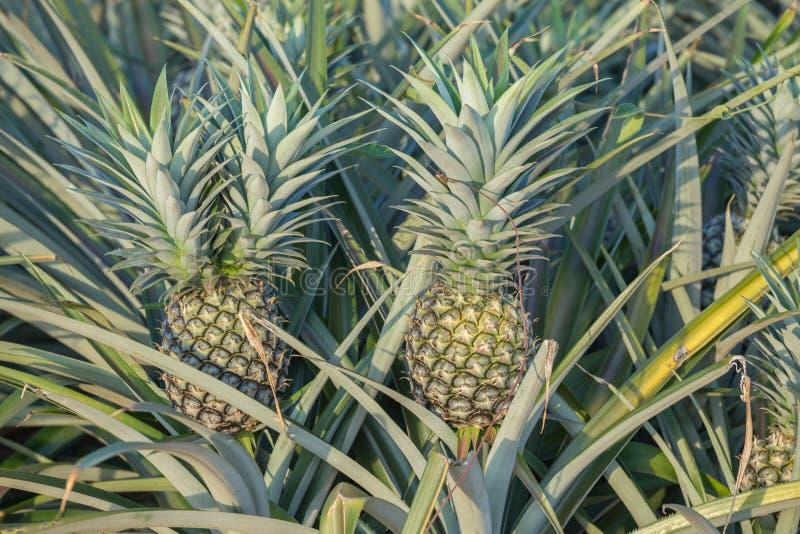 Ananasväxt, växa för tropisk frukt i en lantgård royaltyfri bild
