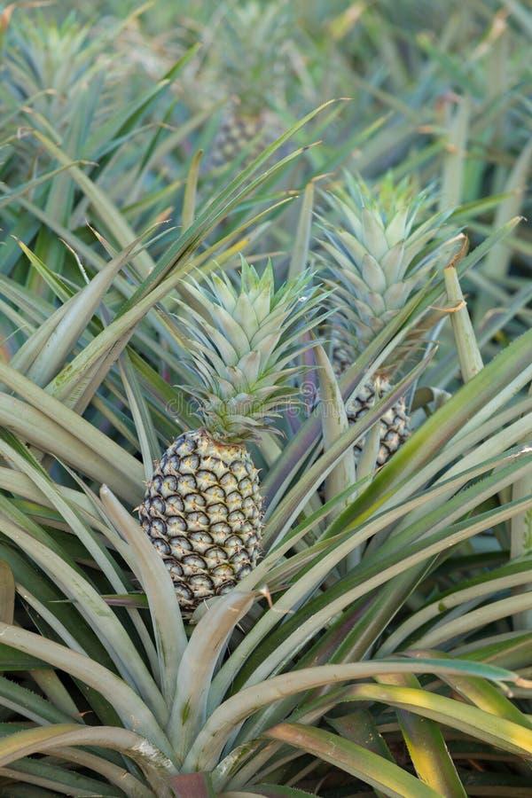 Ananasväxt, växa för tropisk frukt i en lantgård royaltyfri fotografi