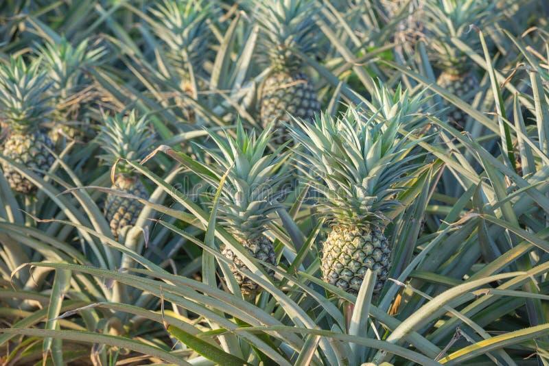 Ananasväxt, växa för tropisk frukt i en lantgård fotografering för bildbyråer