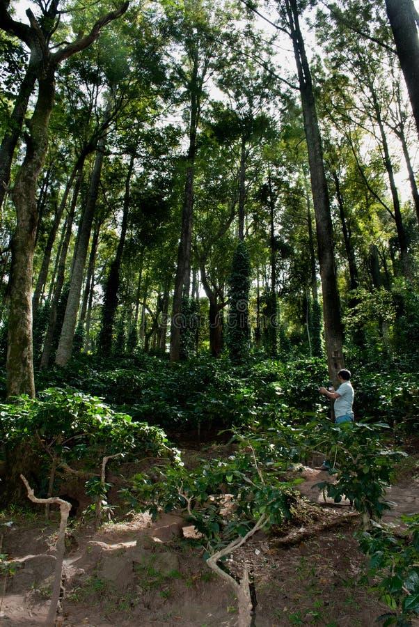 Ananthagiri Coffee Plantation. A tourist observing Coffee Plantations on Ananthagiri Hills. Miles and miles of coffee plantations await you in the mesmerizing stock image