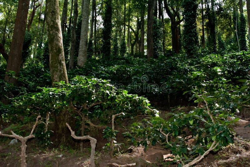 Ananthagiri Kawowa plantacja obraz royalty free