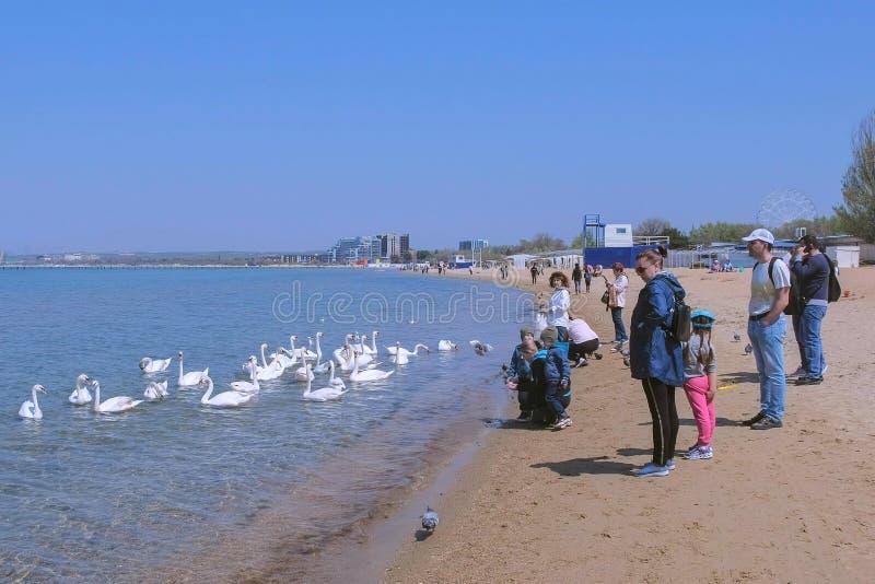 Anapa, Russland, 26-04-2019: Leutetouristen ziehen Höckerschwäne am Meersandstrand ein stockfotos