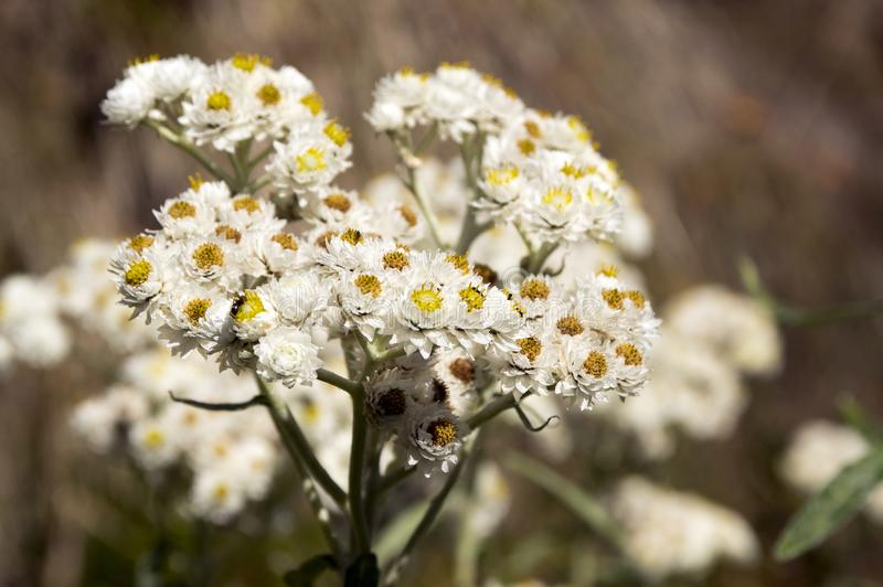 Anaphalis margaritacea, western pearly everlasting, pearly everlasting in bloom. White color with yellow center, sunlight royalty free stock photography