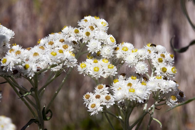 Anaphalis margaritacea, western pearly everlasting, pearly everlasting in bloom. White color with yellow center, sunlight stock images