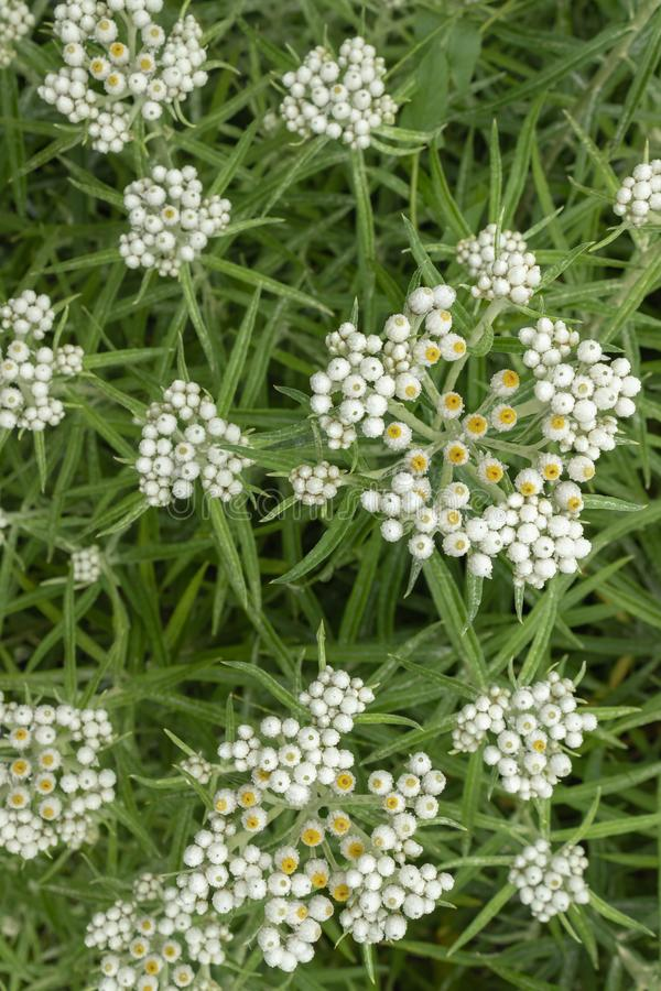 Anaphalis or triplinervis pearly everlasting, lots of white flowers background. close up royalty free stock image