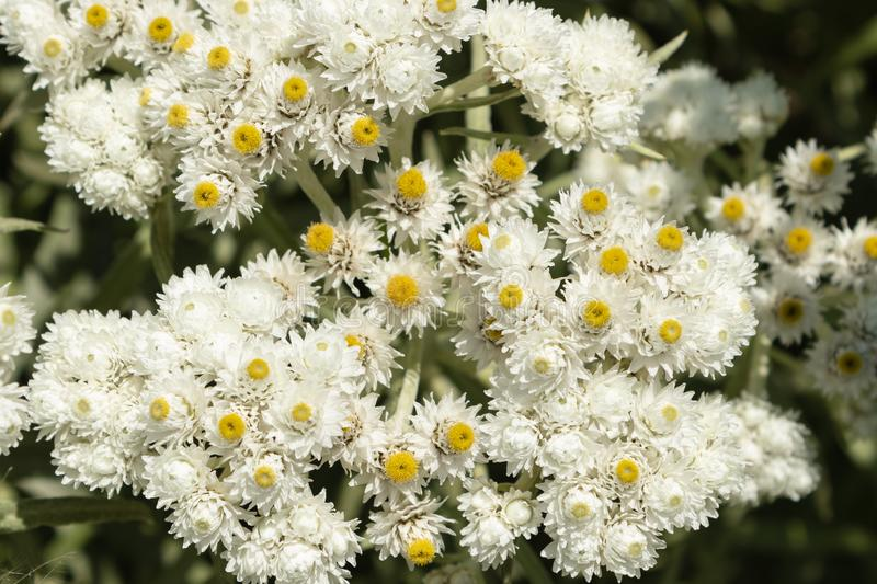 Anaphalis or triplinervis pearly everlasting, lots of white flowers background. close up stock photos