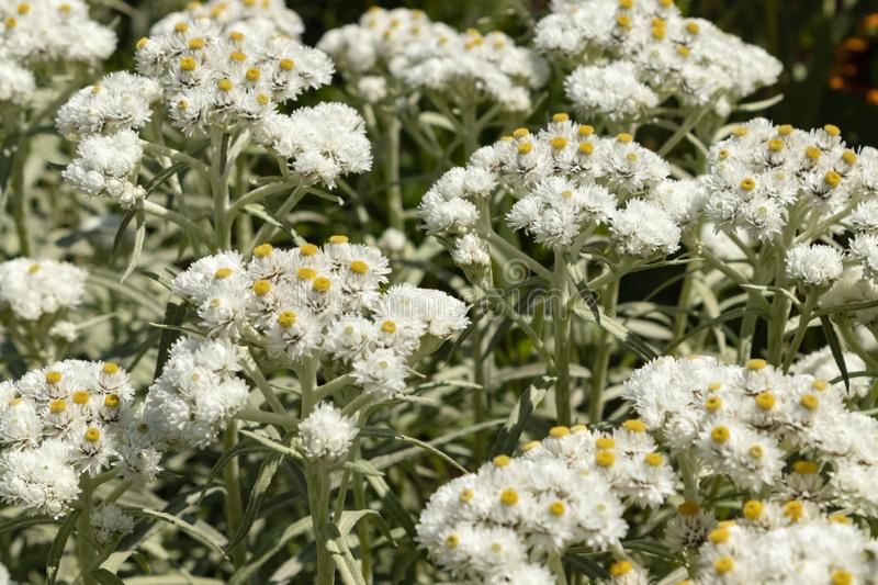 Anaphalis or triplinervis pearly everlasting, lots of white flowers background. close up royalty free stock photos