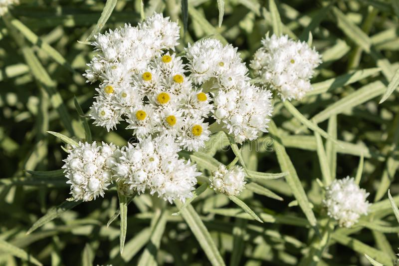Anaphalis or triplinervis pearly everlasting, lots of white flowers background. close up stock image