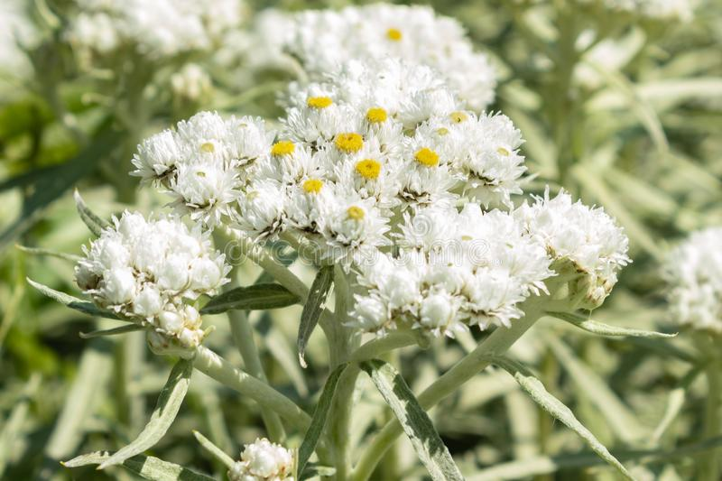 Anaphalis or triplinervis pearly everlasting, lots of white flowers background. close up. Anaphalis or triplinervis pearly everlasting, lots of white flowers stock photo