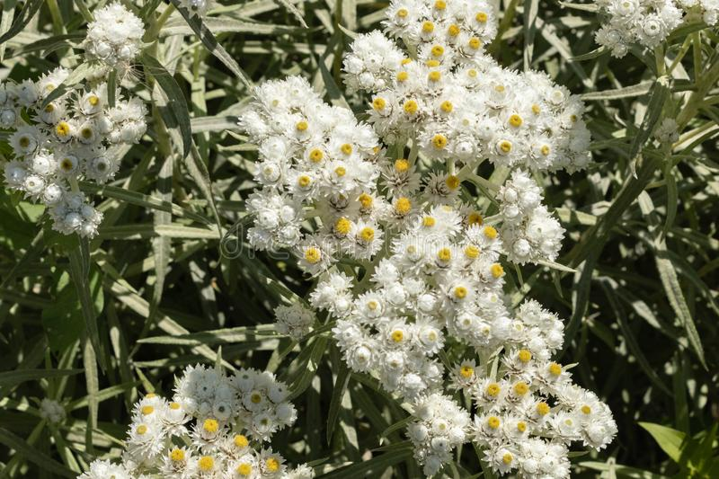 Anaphalis or triplinervis pearly everlasting, lots of white flowers background. close up stock photo