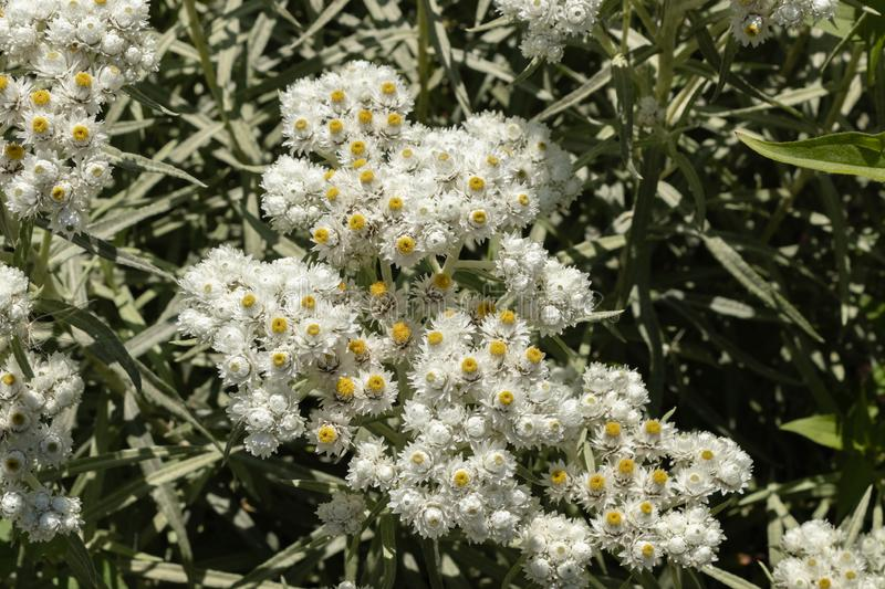 Anaphalis or triplinervis pearly everlasting, lots of white flowers background. close up stock photography