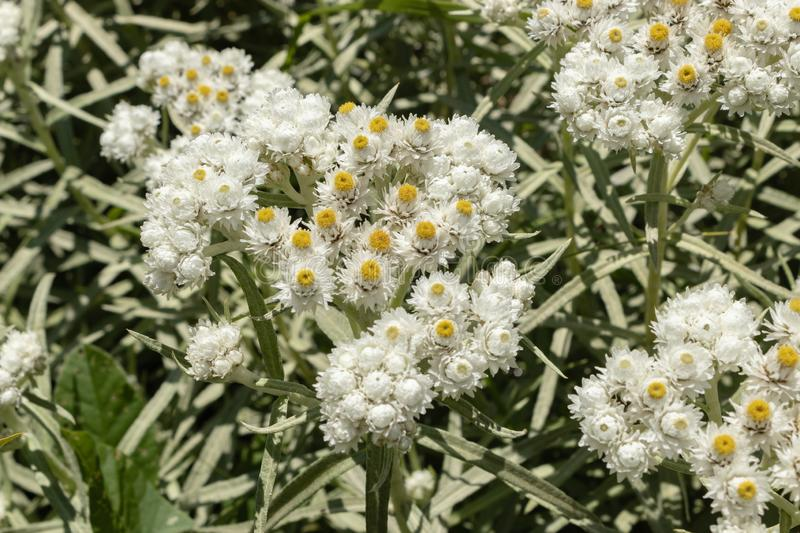 Anaphalis or triplinervis pearly everlasting, lots of white flowers background. close up royalty free stock images