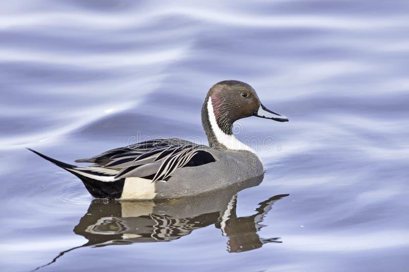 anas acuta duck pintail стоковое изображение