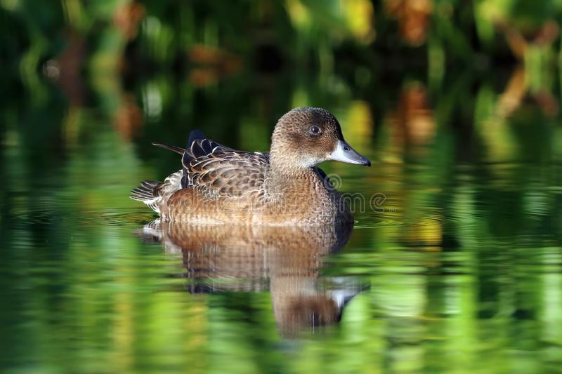 Anas penelope. The female Wigeon in the evening light in late summer on the Yamal Peninsula. Anas penelope. Duck wigeon beautifully reflected in the lake stock image