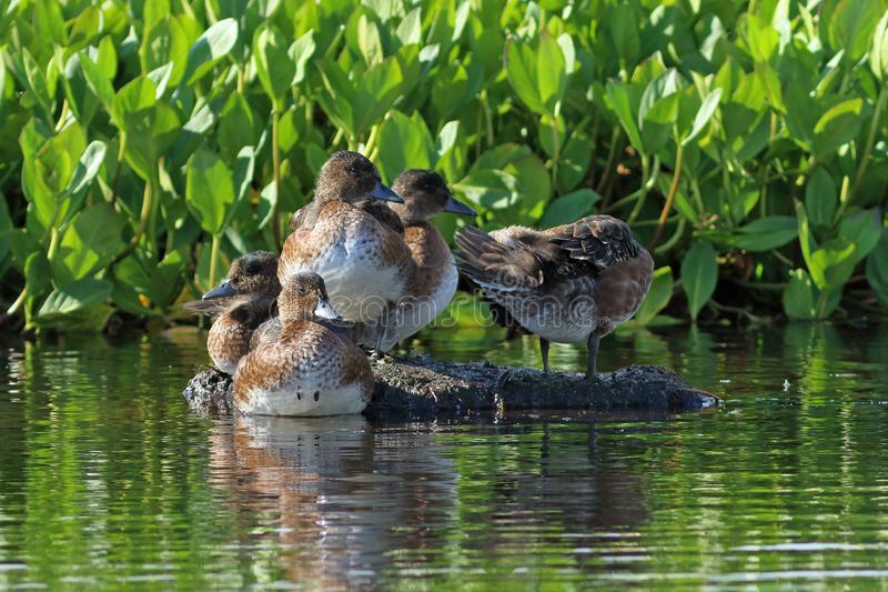 Anas penelope. Ducks in August on the Yamal Peninsula. Anas penelope. Ducks Wigeon resting on the bump in Siberia stock photos