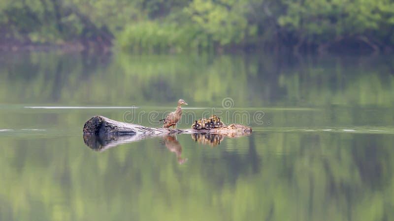 anasand som ser platyrhynchosstandingvatten dig fotografering för bildbyråer