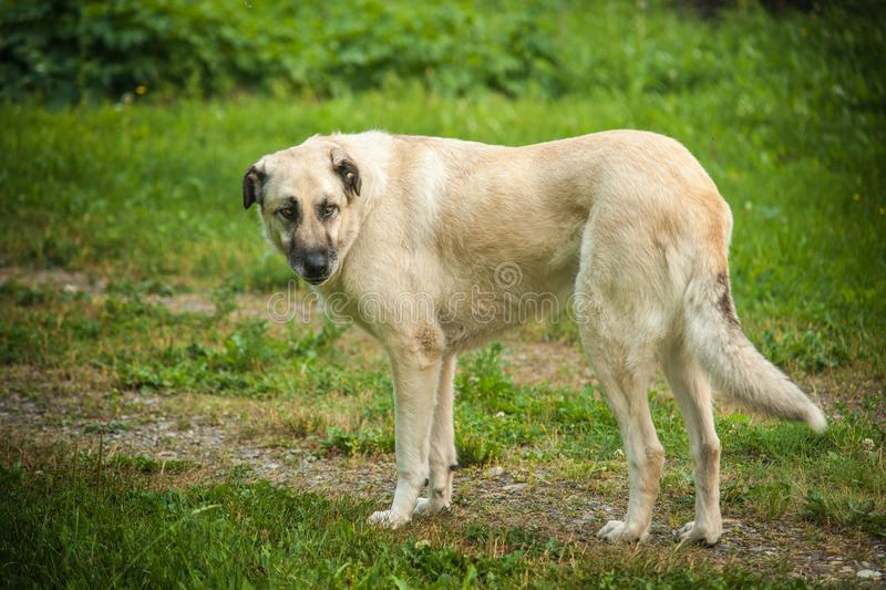 Anatolian Shepherd. Dog in green pasture royalty free stock photos