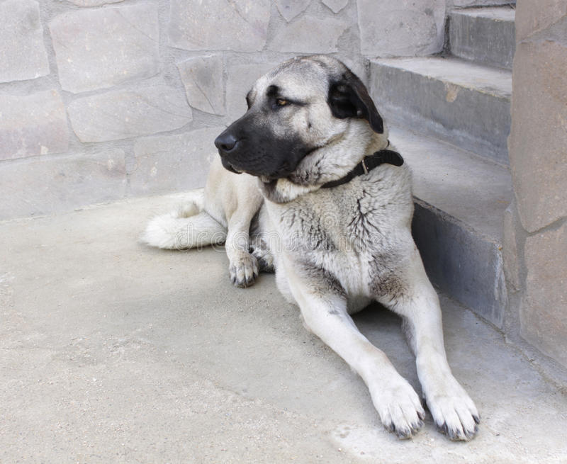 Anatolian shepherd dog. Portrait of female anatolian shepherd dog stock photography