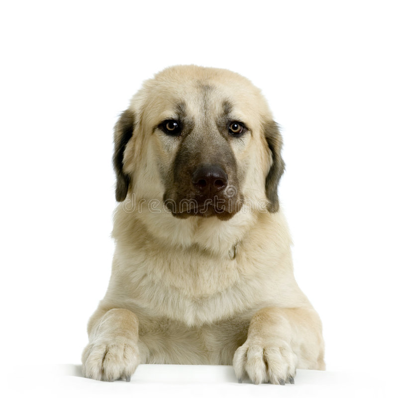 Anatolian Shepherd Dog. In front of white background royalty free stock photo