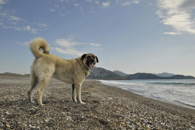 Anatolian Shepherd Dog. On the beach stock image