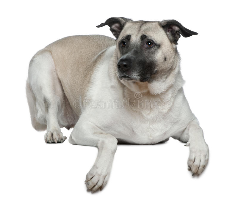 Anatolian shepherd dog, 5 years old. In front of white background royalty free stock photos