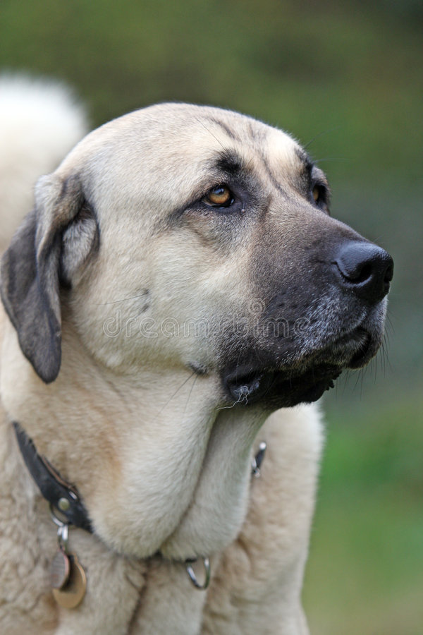 Anatolian Shepherd dog. Close up portrait of a beautiful Anatolian Shepherd dog stock photography