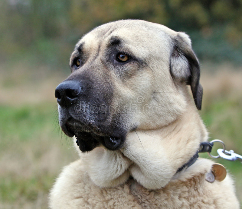 Anatolian Shepherd dog. Portrait of a beautiful Anatolian Shepherd dog in close-up stock photo