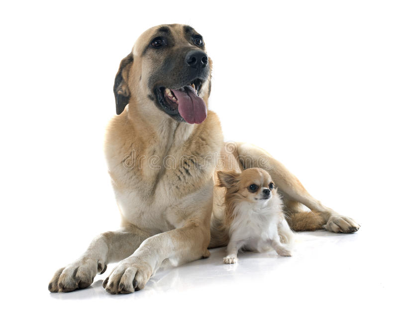 Anatolian Shepherd dog and chihuahua. In front of white background royalty free stock photo