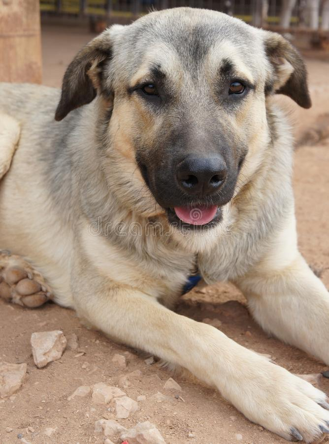 Anatolian Shepherd Dog. Cross breed sitting looking relaxed royalty free stock photography
