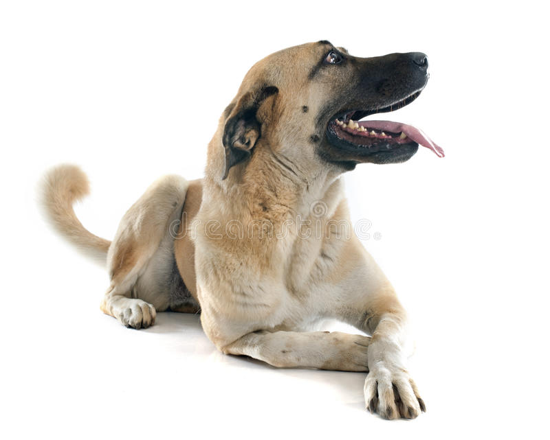 Anatolian Shepherd dog. In front of white background royalty free stock photos