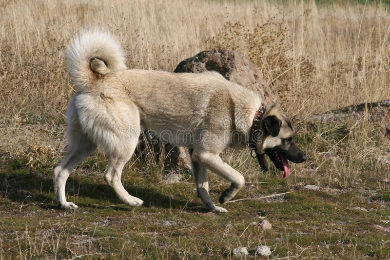 Anatolian Shepherd Dog kangal. (karabash royalty free stock images
