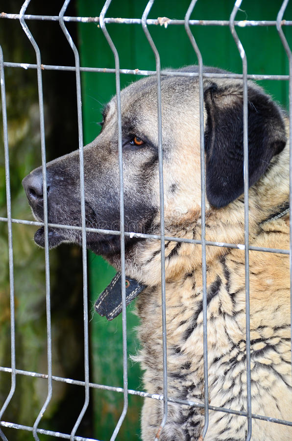 Anatolian Shepherd Dog kangal. Big Anatolian Shepherd Dog kangal karabash behind a fence stock images