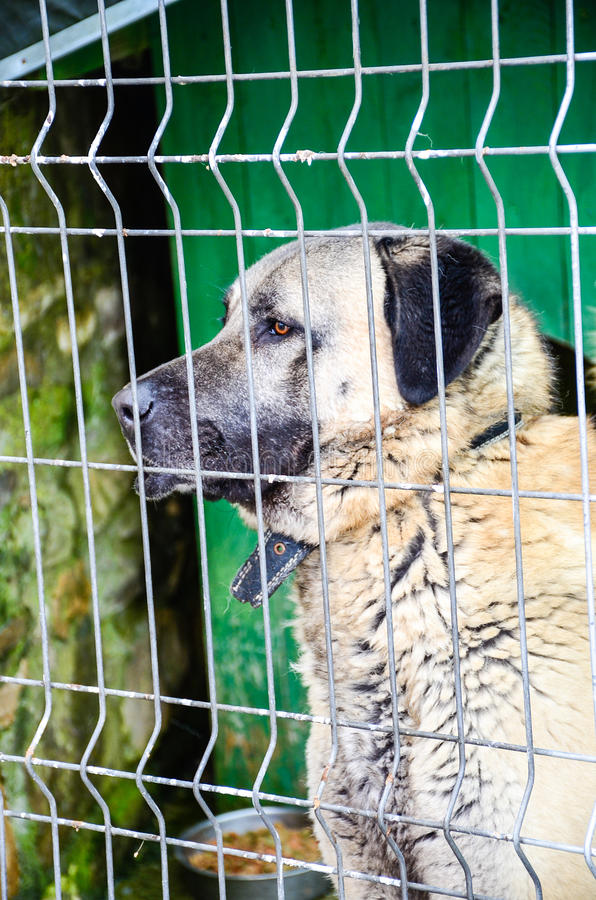 Download Anatolian Shepherd Dog Kangal Stock Photo - Image: 83718871
