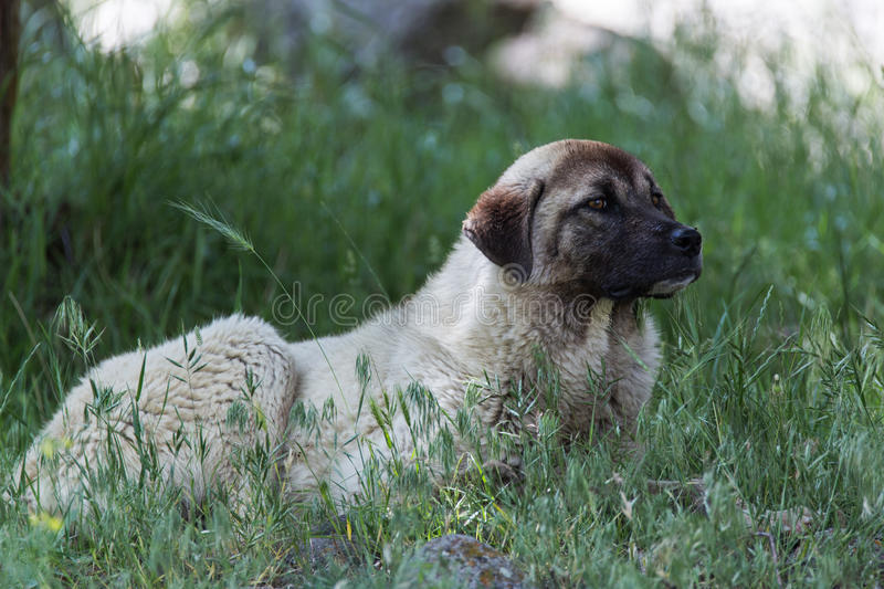 Anatolian shepherd. An Anatolian shepherd dog known as Kangal stock photo