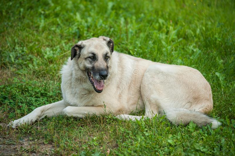 Anatolian Shepherd. Dog laying in green pasture stock photography