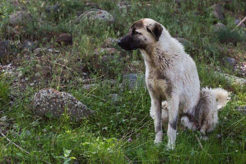 Anatolian Shepherd dog. Portrait of Anatolian Shepherd dog which originated in the Anatolia region of central Turkey and is used to protect livestock royalty free stock photos