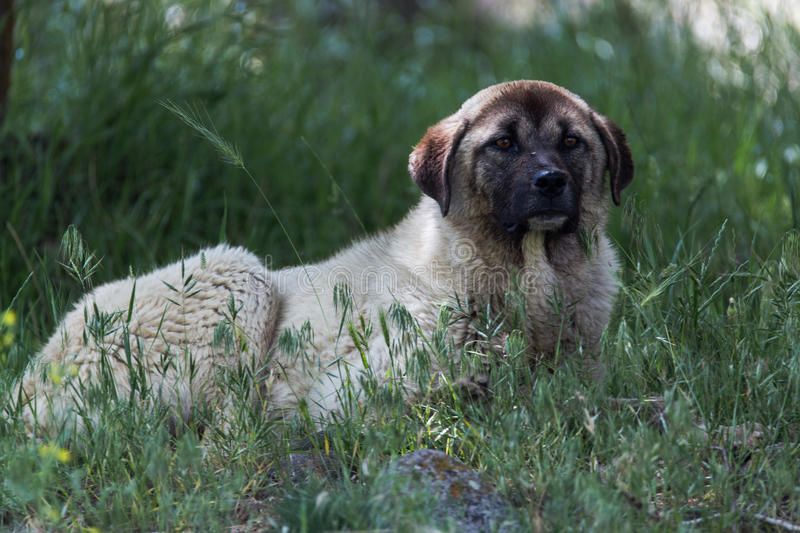 Anatolian shepherd dog. Lying in the green grass stock photos