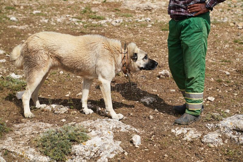 Anatolian shepherd dog with spiked iron collar. Approaching to shepherd stock photo