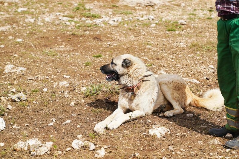 Anatolian shepherd dog with spiked iron collar. Lying on pasture near the shepherd and looking across royalty free stock photos