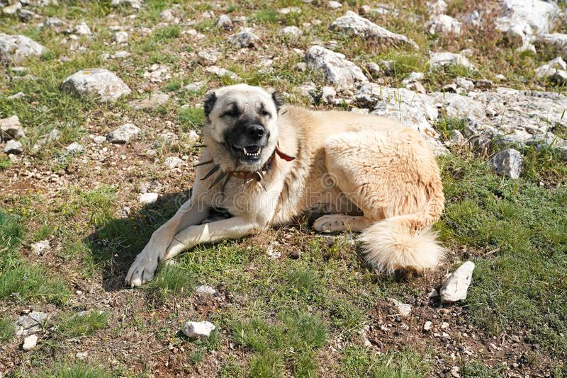 Anatolian shepherd dog with spiked iron collar lying on pasture. Spiked iron collar protects the necks of dog against wolf stock images